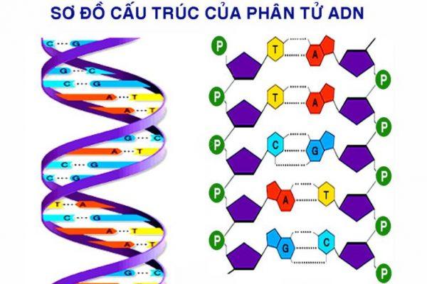 Mô tả cấu trúc không gian của ADN