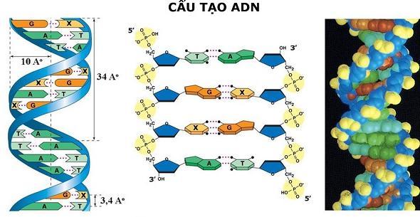 cấu trúc hóa học của adn